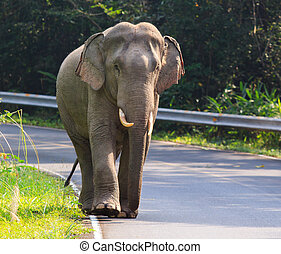 elephant traveling destination in thailand - young male wild...