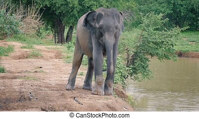 Elephant Trunk up and screaming in Sri lanka national park