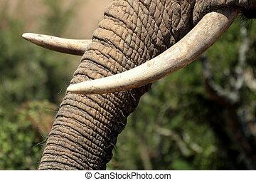 A close up of an elephants tusks