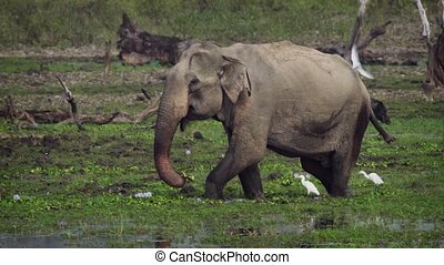 Elephant Wading in a Swamp in Sri Lankan Wildlife Sanctuary...