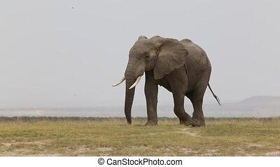 Elephant walking across dusty plains in Amboseli National...