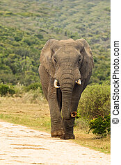 Elephant walking down a gravel road