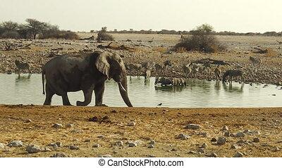 elephant walking in Etosha National Park of Namibia at a...