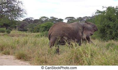 Elephant Walking in Savannah of Tanzania National Park