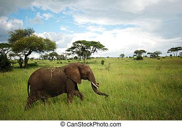 Elephant walking in Tarangire - Elephant in Tarangire