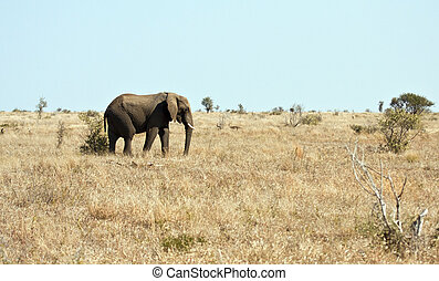 Elephant walking on dry veldt in the sun