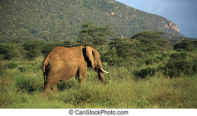Elephant walking through the grass