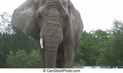 Elephant walks towards camera. - An elephant slowly walks...
