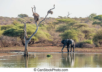Elephant Waterhole - A large elephant standing by the water...