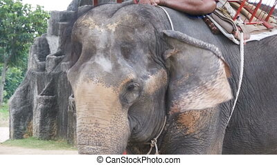 Elephant waving his ears and trunk moves. Slow Motion....