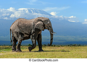 Elephant with a snow covered Mount Kilimanjaro in the background