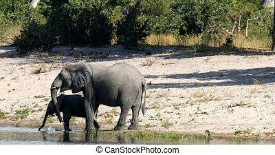 Elephant with baby, Bwabwata Namibia, Africa safari wildlife...
