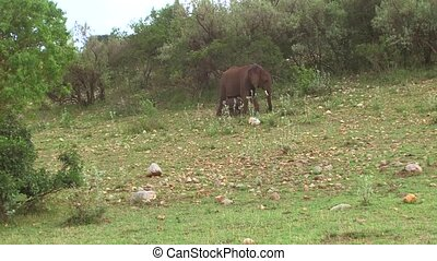 elephant with baby or calf in savanna at africa - animal,...