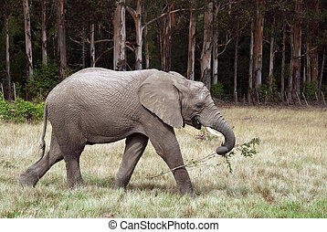 Elephant with branch