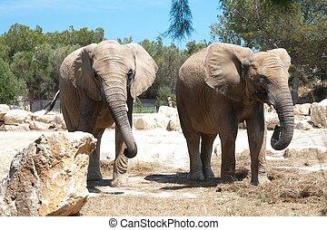 Elephantidae is a elephant big mammal africa