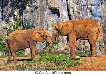 elephants., afrikaan