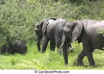 Elephants always on the move for food
