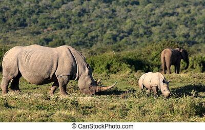 Elephants and rhinoceros together