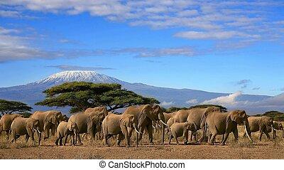 Elephants And Snow Capped Kilimanjaro Mountain