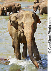 Elephants are walking in the river in Sri Lanka.