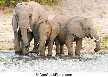 Elephants at the bank of Chobe river in Botswana - The...
