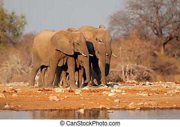 Elephants at waterhole - African elephants (Loxodonta...