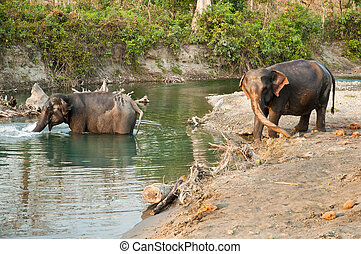 Elephants bathing in river