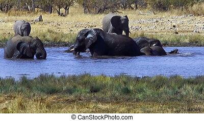 elephants bathing in waterhole