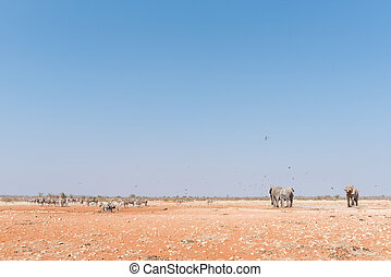 Elephants, Burchells Zebras and Hartmann Mountain Zebras