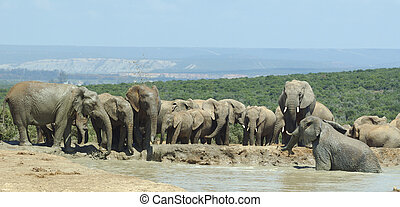 elephants drinking at Addo Elephant Park
