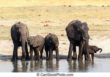 Elephants drinking at waterhole - herd of African elephants...