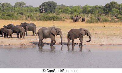Elephants drinking at waterhole, Hwange, Africa wildlife -...