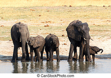 Elephants drinking at waterhole - herd of African elephants...