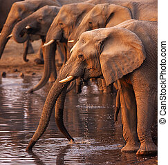 Elephants drinking - Elephant herd drinking at a waterhole...