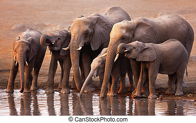 Elephants drinking - Elephant herd drink at a waterhole in...