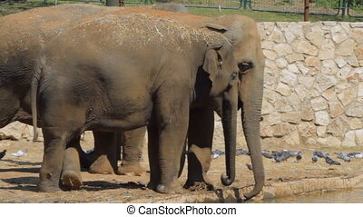 Elephants drinks in the safari. Israel