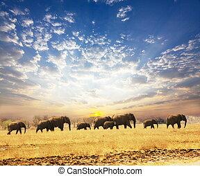 Elephants - Elephant