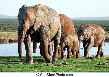 Elephants Family at Waterhole - African elephant family...