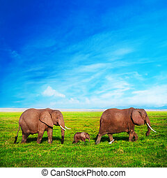 Elephants family on savanna. Safari in Amboseli, Kenya, ...