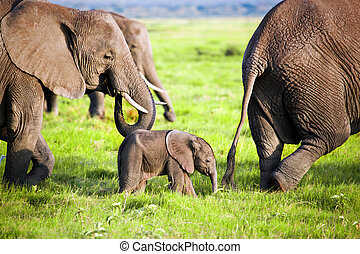Elephants family on savanna. Safari in Amboseli, Kenya,...