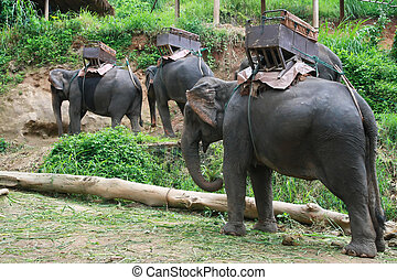 elephants for logging, Chiang Mai, Thailand