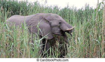 Elephants graze at Etosha, Africa wildlife