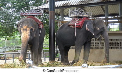 Elephants in a zoo with chains chained to their feet....