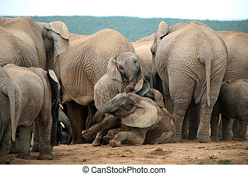 Elephants lifestyle in Addo National Elephants Park, South Africa.