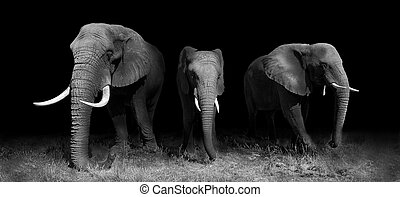 Wild African elephants in black and white