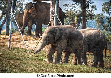 elephants in Chitwan