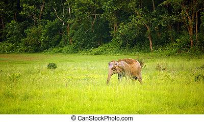 elephants in chitwan national park, nepal