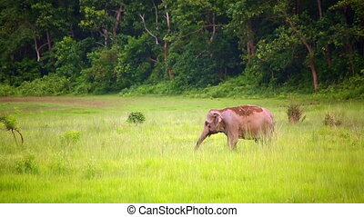 elephants in chitwan national park, nepal