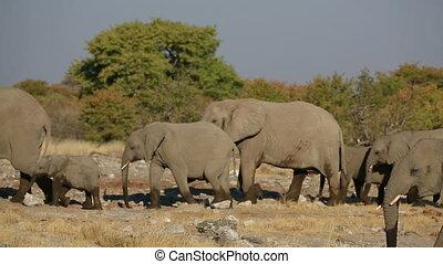 Elephants in Etosha - Elephants walking in the savannah,...