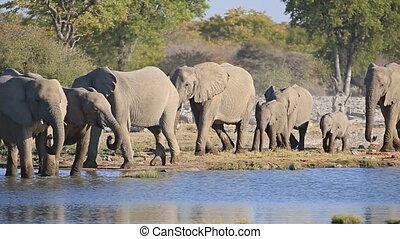 Elephants in Etosha - Mom and baby elephants getting into...